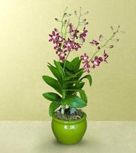 Honesty\'s Spark Orchid Plant