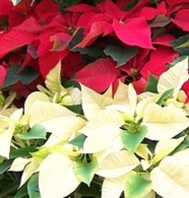 Red & White Combo Poinsettia