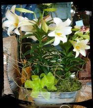 Easter Lily Garden in Tin