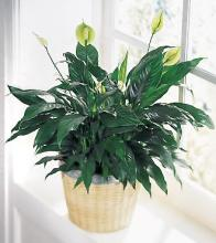 Large Peace Lily (Spathiphyllum) in a Planter