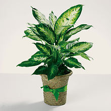 Potted Green House Plant